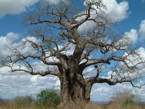 Baobab in Tsavo East