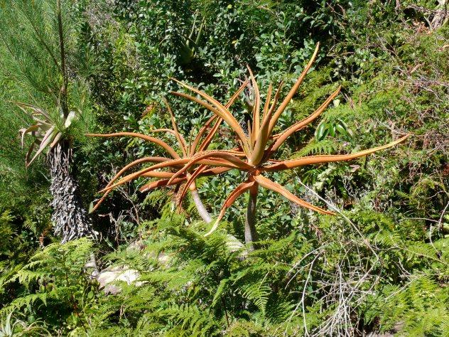 Kirstenbosch-Cape Town, South Africa