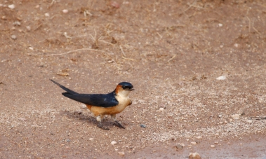 Mosque Swallow