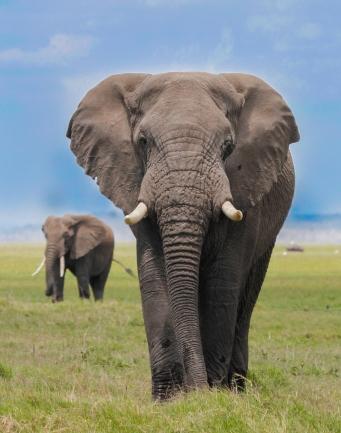 Elephants-Amboseli