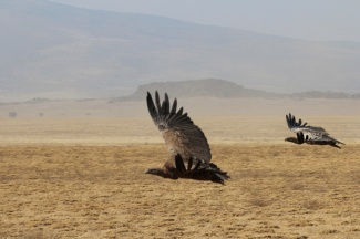 African White-backed Vulture-Ngorongoro