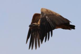 African White-backed Vulture-Ngorongoro