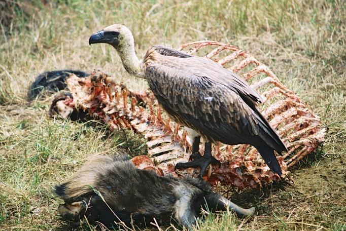 African White-backed Vulture-Maasai Mara, Kenya