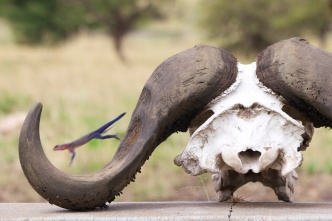 Agama Lizard jumping on a buffalo skull-Serengeti