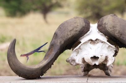 Agama Lizard jumping on a buffalo skull-Serengeti