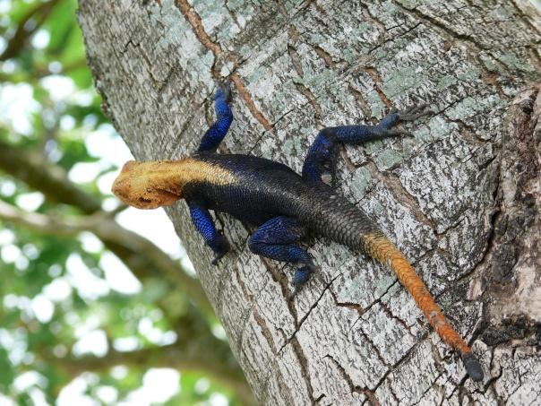 Agama Lizard-Murchinson Falls National Park, Uganda