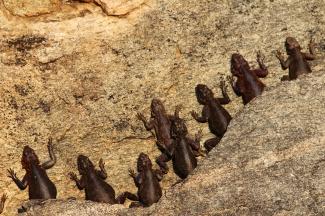 Agama Lizards-Serengeti