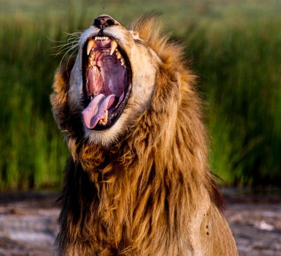 Lion-Ndutu