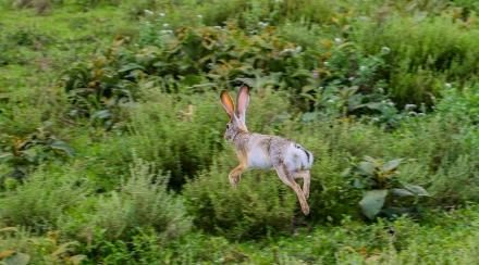 Hare-Ndutu