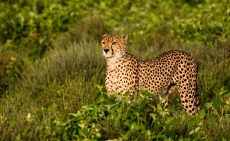 Cheetah-Ndutu