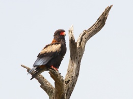 Bateleur-Serengeti