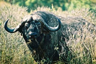 Buffalo-Maasai Mara, Kenya