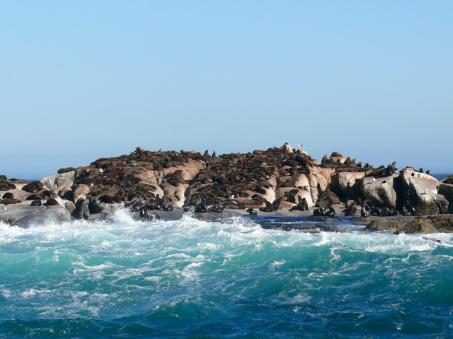 Cape Seals-Hout Bay, South Africa