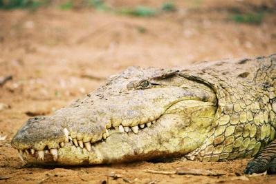 Crocodile-Samburu National Park, Kenya
