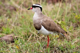 Crowned Lapwing-Arusha National Park