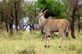 Eland-Serengeti