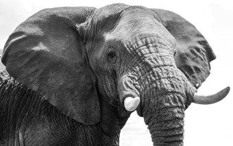 Elephant-Amboseli
