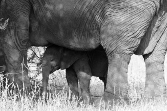 Matriarch with calf