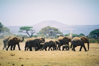 Elephants-Amboseli National Park, Kenya