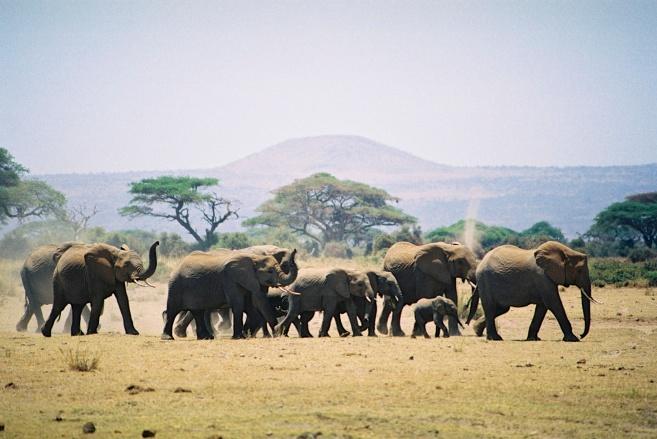 Elephants-Amboseli National Park, Kenya