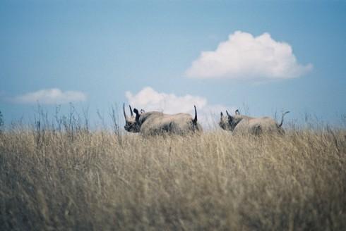 Black Rhinos-Nairobi National Park, Kenya