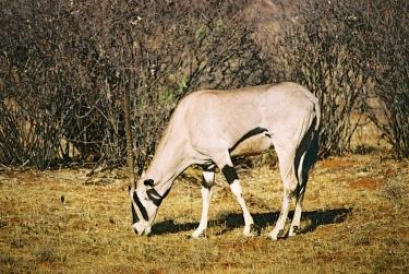 Beisha Oryx-Samburu National Park, Kenya