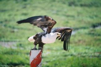 Fishing Eagle-Amboseli National Park, Kenya