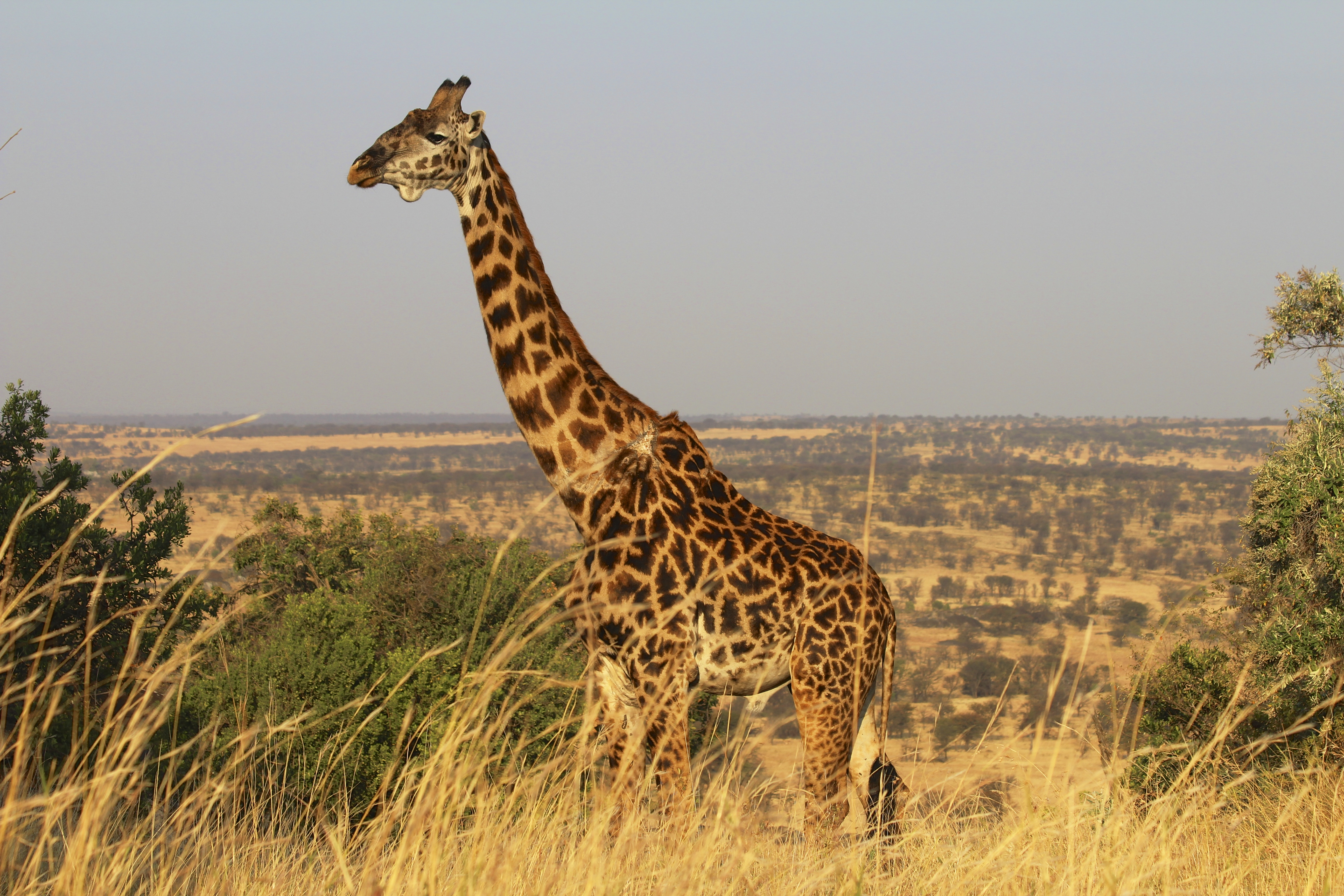 Join the 1st World Giraffe Day and help save these gentle giants ...
