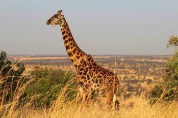 Maasai Giraffe-Serengeti
