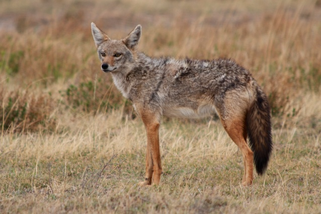 Golden Jackal-Serengeti