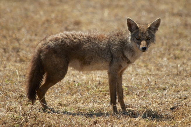 Golden Jackal-Ngorongoro