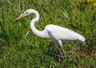 Great Egret-Amboseli