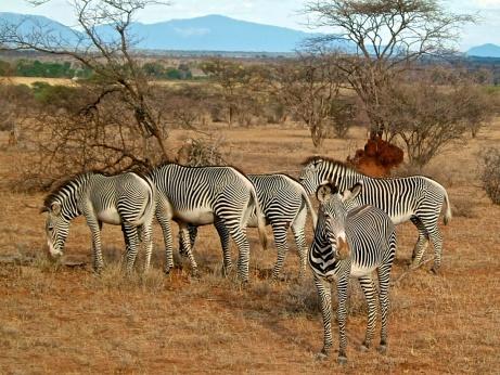 Grevy's Zebra-Samburu National Park, Kenya