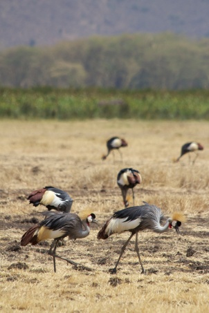 Grey Crowned Crane-Ngorongoro