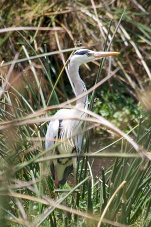 Grey Heron-Ngorongoro
