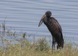 Open-billed Stork-Chobe