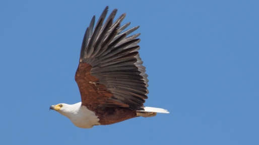 African Fishing Eagle