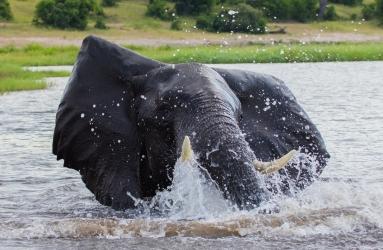 Elephant-Chobe