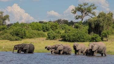 Elephants-Chobe