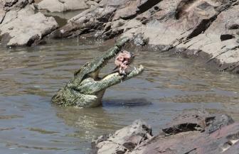 Crocodile-Ruaha