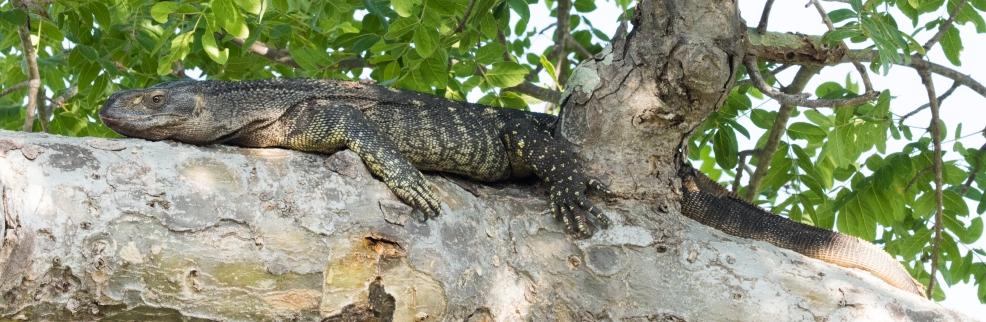 Monitor Lizard-Ruaha