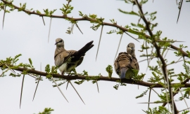 Namaqua Dove
