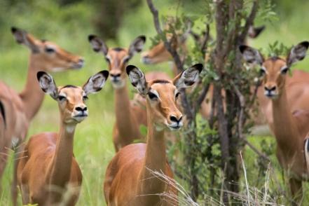 Impala-Ruaha