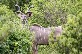 Greater Kudu-Ruaha