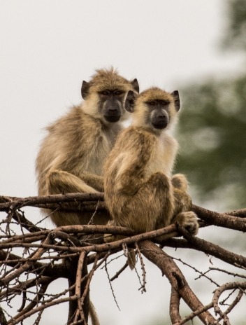 Olive Baboons