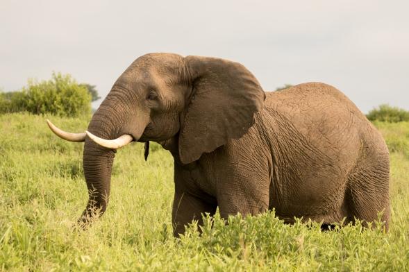 Elephant-Ruaha