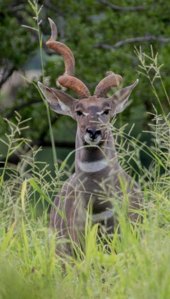 Greater Kudu-Ruaha