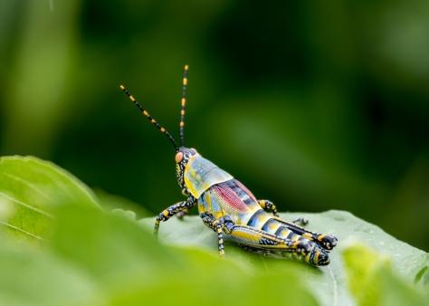 Locust-Ruaha