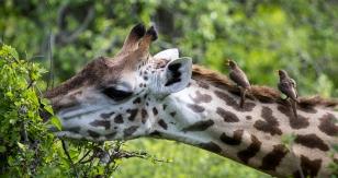 Giraffe with oxpeckers