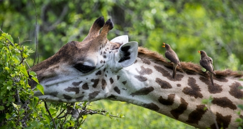 Giraffe with oxpeckers
